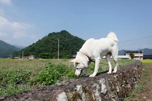 白い日本犬の写真素材 [FYI03207837]