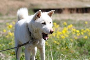 白い日本犬の写真素材 [FYI03207839]