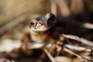 カエルの写真素材 [FYI03207841]