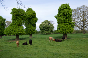 牧場の牛の写真素材 [FYI03207995]