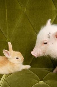 ソファの上のブタとウサギの写真素材 [FYI03210270]