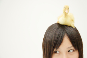 アヒルの子を頭に乗せている女の子の写真素材 [FYI03210289]