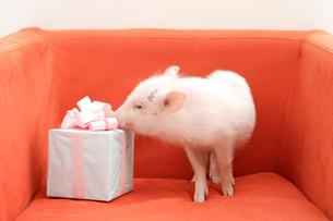 ソファの上のブタとプレゼントの写真素材 [FYI03210299]