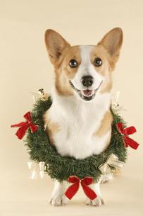 犬のクリスマスイメージの写真素材 [FYI03212765]