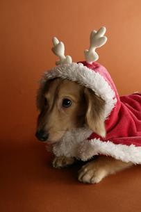 犬のクリスマスイメージの写真素材 [FYI03212779]