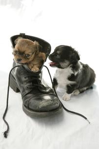 靴の中に入っている子犬の写真素材 [FYI03212883]