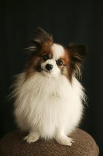 イスの上に乗っている犬の写真素材 [FYI03212884]