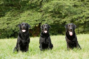 公園にいる3匹のラブラドールレトリーバーの写真素材 [FYI03212902]