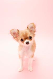 チワワの子犬の写真素材 [FYI03212916]