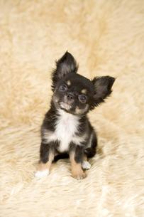 チワワの子犬の写真素材 [FYI03212947]