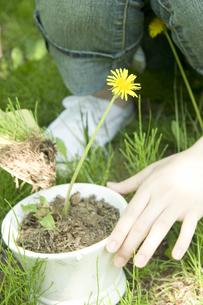 タンポポを鉢に植え替える女性の手の写真素材 [FYI03213068]