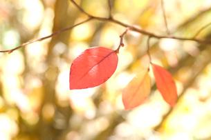 紅葉の葉の写真素材 [FYI03213524]