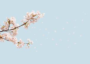 ソメイヨシノの写真素材 [FYI03213677]