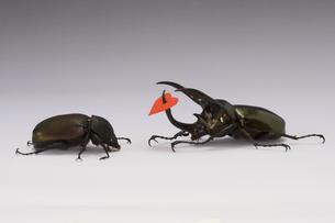 カブトムシのオスとメスの写真素材 [FYI03214320]