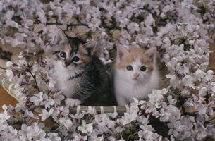 桜と子猫の写真素材 [FYI03214501]