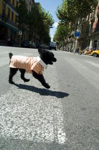 横断歩道を歩く犬の写真素材 [FYI03214569]