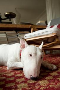 絨毯に寝そべるブルテリアの写真素材 [FYI03214610]