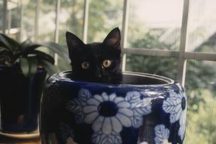 壺に入った黒い猫の写真素材 [FYI03214730]