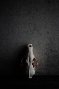動物の頭蓋骨の写真素材 [FYI03215130]