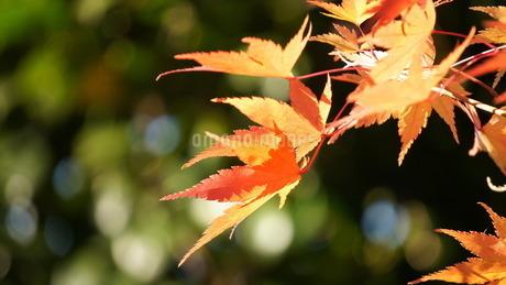紅葉する葉の一風景の写真素材 [FYI03215437]