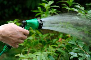 庭木の水やりの写真素材 [FYI03215915]