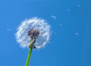 青空に舞うタンポポの綿毛と太陽の写真素材 [FYI03216086]