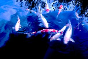 池のニシキゴイの写真素材 [FYI03216185]