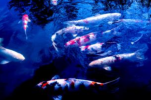 池のニシキゴイの写真素材 [FYI03216187]