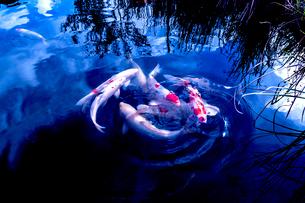 池のニシキゴイの写真素材 [FYI03216194]
