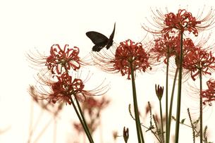 彼岸花と蝶の写真素材 [FYI03216414]