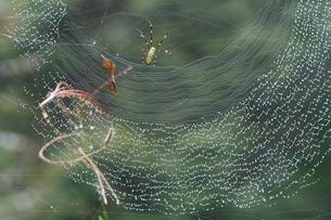 蜘蛛の巣としずくの写真素材 [FYI03216477]