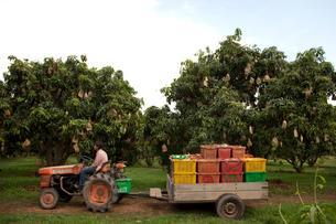 マンゴー農園で働く人の写真素材 [FYI03216554]