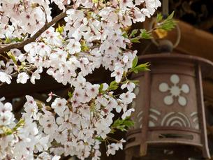 灯籠と桜の写真素材 [FYI03216613]