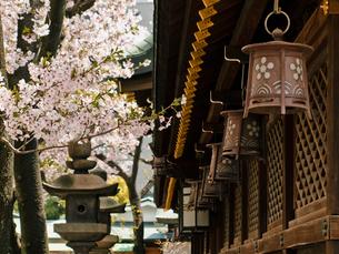 桜咲く大阪天満宮の写真素材 [FYI03216615]