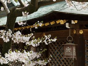 桜咲く大阪天満宮の写真素材 [FYI03216617]