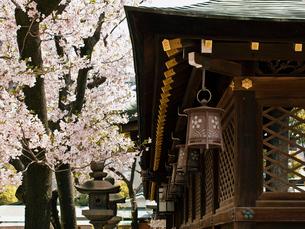 桜咲く大阪天満宮の写真素材 [FYI03216619]