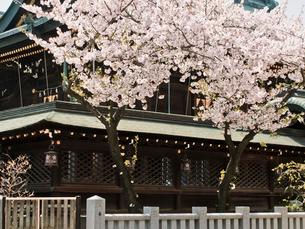 桜咲く大阪天満宮の写真素材 [FYI03216623]