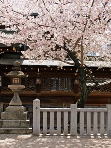 灯籠と桜の写真素材 [FYI03216624]