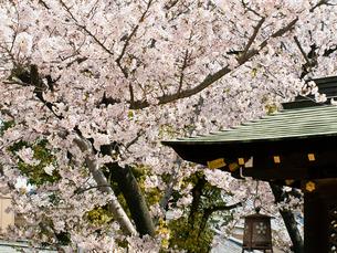 桜咲く大阪天満宮の写真素材 [FYI03216630]