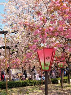 造幣局の桜の通り抜けの写真素材 [FYI03216655]