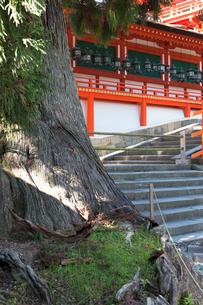 春日大社 社頭の大杉と御廊の写真素材 [FYI03216828]