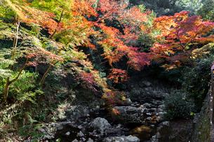 箕面川と紅葉の写真素材 [FYI03216833]