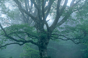 本州南限のブナ林の写真素材 [FYI03217081]