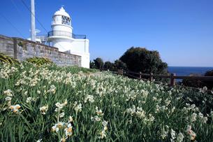 水仙咲く大島樫野崎の灯台の写真素材 [FYI03217082]