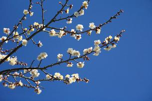 南高梅の花の写真素材 [FYI03217118]