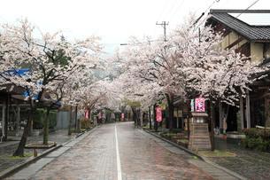 谷汲山門前町の桜祭りの写真素材 [FYI03217278]