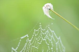 雨に濡れたワタスゲとクモの巣の写真素材 [FYI03217544]