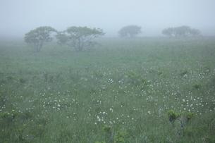 ワタスゲと朝の霧多布湿原の写真素材 [FYI03217934]