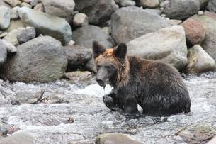 川で魚を狙うヒグマの写真素材 [FYI03218007]