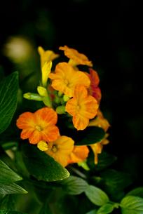 オレンジマーマレードの写真素材 [FYI03218360]